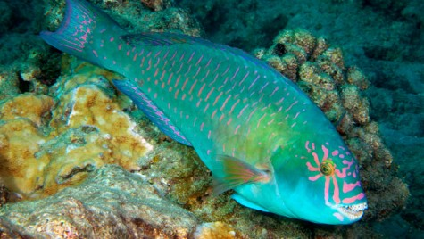 A parrot fish, one of the colorful fish I saw while snorkeling.